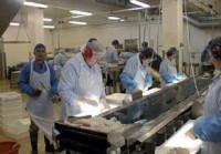 Dam pracę w Danii na produkcji przy filetowaniu ryb bez znajomości języka