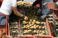 Dania praca w Odense przy pakowaniu ziemniaków bez znajomości języka 2015