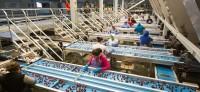 Praca Holandia w Waalwijk na produkcji przy sortowaniu warzyw i owoców