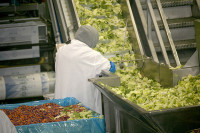 Bez języka Holandia praca przy pakowaniu sałatek Noordwijkerhout od zaraz