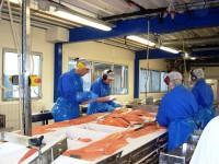 Dania praca bez znajomości języka od zaraz dla fileciarza na produkcji rybnej