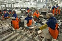 Szkocja praca w UK na produkcji rybnej w Dingwall od zaraz do stycznia 2018