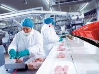 Bez znajomości języka od zaraz Holandia praca przy pakowaniu drobiu na produkcji, Haga