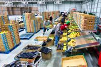 Hoogstraten dam pracę w Belgii od zaraz – pakowanie owoców