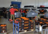 Pakowacz owoców i warzyw Holandia praca również dla par bez języka, Haga i Oss