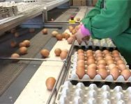 Praca w Holandii bez znajomości języka pakowanie jajek dla panów, Ochten