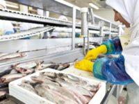 Filetowanie śledzi dam pracę w Holandii bez języka na produkcji w przetwórstwie rybnym, Katwijk