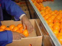 Od zaraz praca Holandia jako pakowacz warzyw i owoców bez znajomości języka Haga lub Oss