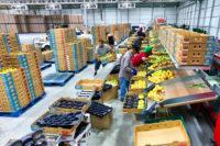 Praca w Holandii od zaraz także dla par przy sortowaniu-pakowaniu owoców i warzyw Eindhoven lub Venlo