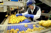 Pracownik produkcji Belgia praca od zaraz sortowanie warzyw, Oudenaarde 2020