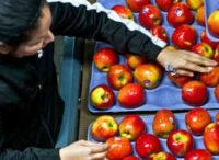 Fizyczna praca Dania od zaraz bez znajomości języka przy sortowaniu owoców w Aarhus 2021