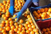 Belgia praca z językiem angielskim przy pakowaniu owoców od zaraz w Meer
