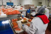 Od zaraz Norwegia praca bez języka na produkcji rybnej przy łososiu wrzesień 2021 Frøya