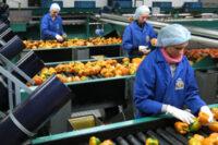Haga, fizyczna praca w Holandii od zaraz bez języka sortowanie warzyw i owoców